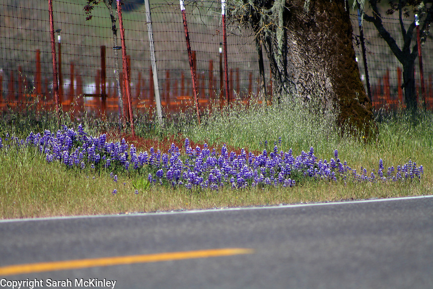 A patch of lupine grow near a vineyard on Highway 128 between Geyserville and Calistoga in Napa County in Northern California.