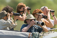 Tourists photograph and watch wildlife froma  land cruiser in the Serengeti National Park, Tanzania, East Africa