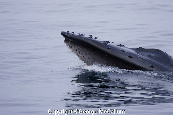 Humpback whale Megaptera novaeangliae Lunge feeding showing baleen plates hanging from upper jaw. Kvitøya, Arctic ocean