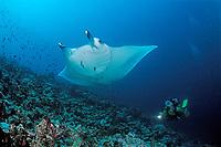 Manta ray and scuba diver, Manta alfredi, Maldives Islands, Indian ocean, Ari Atoll, Atol, Madivaru