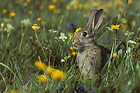 Europe/France/Auvergne/15/Cantal/Massif du Puy Mary : Lapin de Garenne