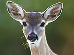 Florida Key Deer, Odocoileous virginianus clavium, portrait, backlight, large eyes and ears, nose, smallest deer of North America, Key West, related to white tail deer.USA....