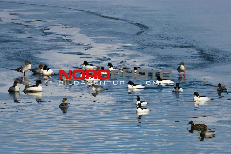 G&scaron;nses&scaron;ger (mergus merganser) und Stockenten in einem Eisloch, See, Wasser, Zugvoegel, Winter, MŁritz Nationalpark<br /> <br /> Foto: nordphoto *** Local Caption *** Original Naturfoto - hŲhere AuflŲsung auf Anfrage - Dig. Foto