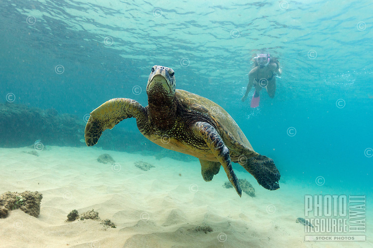 A healthy, fit woman snorkels with a green sea turtle at Napili Bay, Maui.