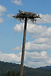osprey nest on power pole, ID