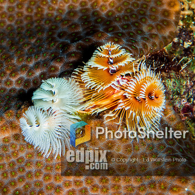 28 January 2016: A pair of Christmas Tree Worms (Spirobranchus giganteus) grow on a coral patch at Captain Don's Habitat in Bonaire. Bonaire is known for its pioneering role in the preservation of the marine environment. A part of the Netherland Caribbean Islands, Bonaire is located off the coast of Venezuela and offers excellent scuba diving, snorkeling and windsurfing.  Mandatory Credit: Ed Wolfstein Photo *** RAW (NEF) Image File Available ***