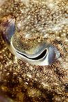 Cuttlefish portrait, Sepia sp., Seraya Secrets, Tulamben, Bali, Indonesia, Pacific Ocean