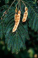 FLOWERING TREES AND SHRUBS<br /> Mimosa leaves and Seed Pods (Albizia julibrissin)<br /> Mimosa seeds have impermeable seed coats that allow them to remain dormant for many years. Seeds are mostly dispersed below or around the parent plant, but can be dispersed further by water.
