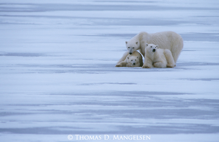 A mother polar bear stand stand next to her two resting cubs in Churchill, Manitoba, Canada.