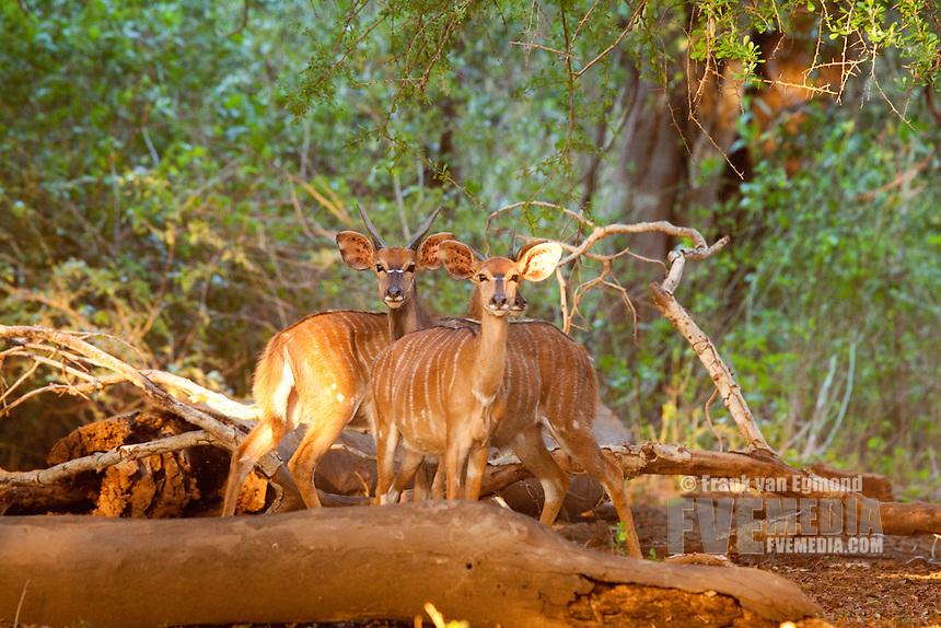 Nyala (Nyala (Tragelaphus angasii) ) females at the Ndumo forest..Ndumo Game Reserve..Kwazulu-Natal, South Africa.