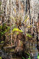 US, Florida, Everglades. Cypress swamp.
