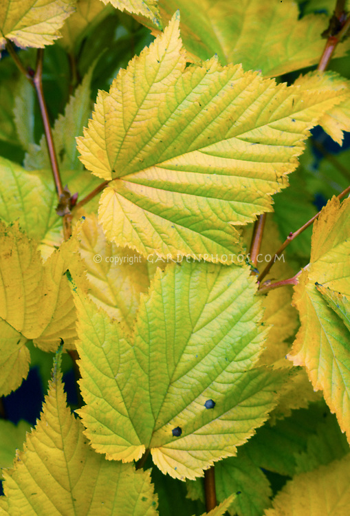 Stephanandra tanakae in autumn fall foliage yellow gold leaf color, commonly called Japanese stephanandra or tanaka stephanandra, leaves