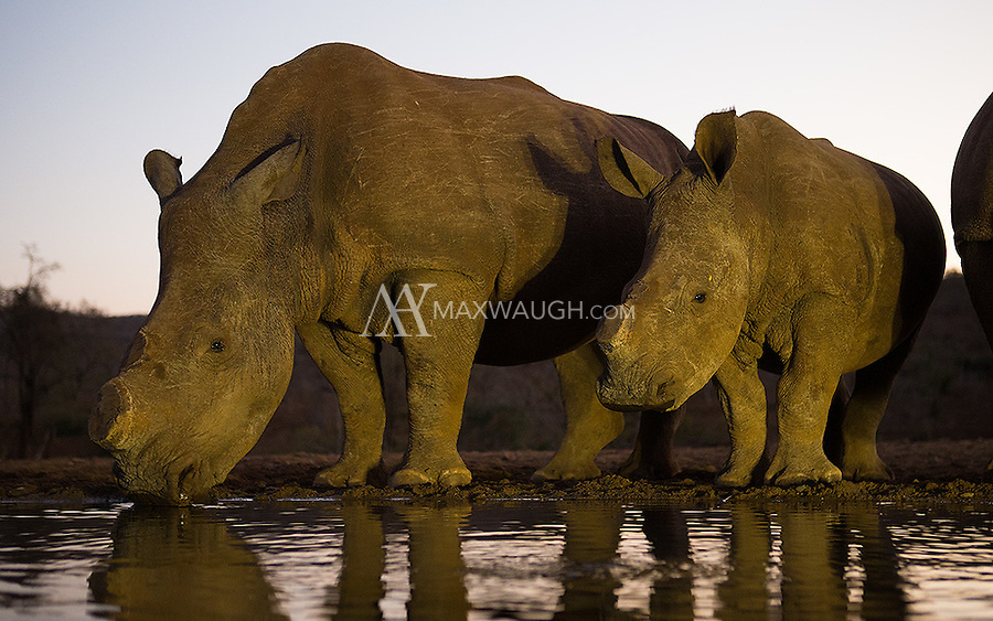 These white rhinos have had their horns cut off, a measure taken to save their lives from poachers.