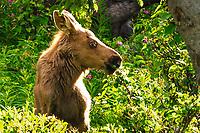 A baby moose enjoys a salad with its mama feeding not too far behind it near Kenai, Alaska.