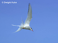 MC59-052z  Arctic Tern - flying above island - Machias Seal Island, Bay of Fundy - Sterna paradisaea