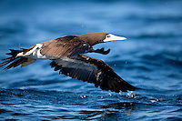 Brown Booby (Sula leucogaster)takes off in Kino Bay, Mexico.