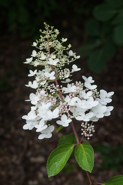 Hydrangea paniculata 'Chantilly Lace', mid August. White blooms in July, pink blooms in August, and deep pink bloms in autumn until the first frost when they turn back to creamy white.