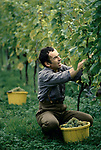 'WINE IN ENGLAND, SOMERSET', GRAPE PICKING AT AVALON VINEYARD. DR HUGH TRIPP GROWS ALL HIS GRAPES ORGANICALLY, 1989