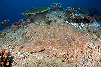 tasselled wobbebong, Eucrossorhinus dasypogon, Misool, Raja Ampat, Papua, Indonesia, Pacific Ocean