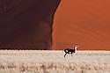 Namibia;  Namib Desert, Namib-Naukluft National Park, springbok (Andidorcas marsupialis) in grassland in front of large red sand dune