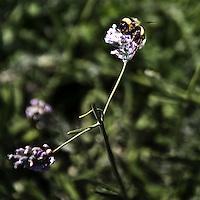 Insetto posato su un fiore di lavanda nel parco di Montevecchia...An insect posed on a lavander flower of Montevecchia park