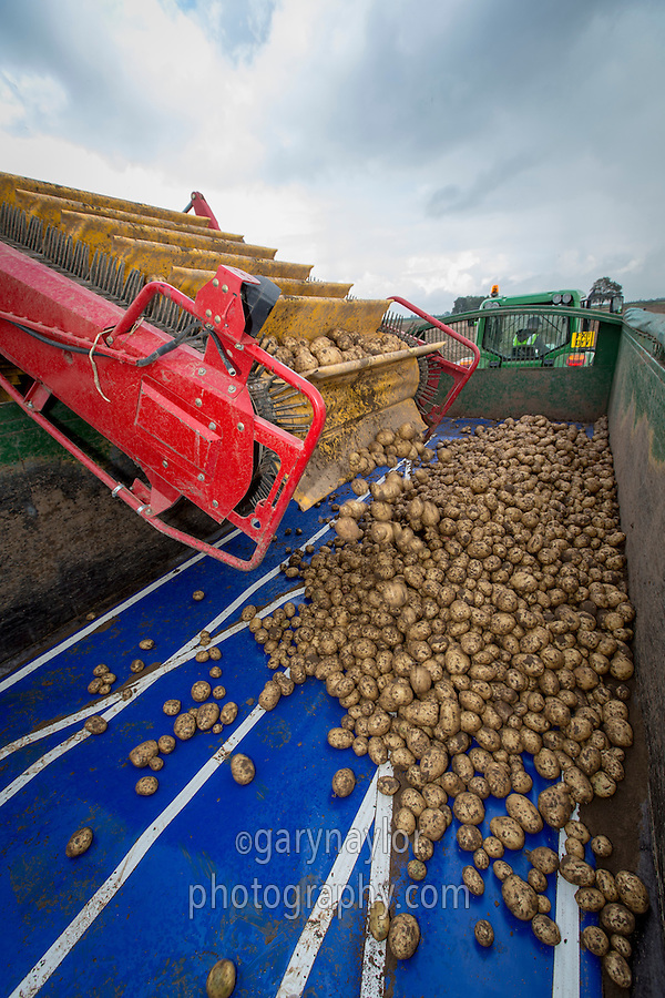 Loading Marfona potatoes into a 14 tonne root trailer with cushion floor - August, Lincolnshire