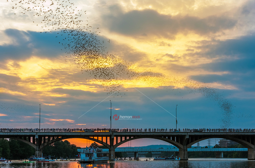In Austin, Texas, a colony of Mexican free-tailed bats summers (they winter in Mexico) under the Congress Avenue Bridge ten blocks south of the Texas State Capitol. It is the largest urban colony in North America, with an estimated 1,500,000 bats. Each night they eat 10,000 to 30,000 lb (4,500 to 13,600 kg) of insects.