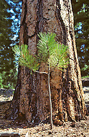 Large and small Ponderosa pine trees. Near Sisters,Oregon.