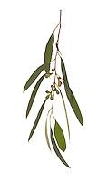Tasmanian Snow Gum - Eucalyptus coccifera