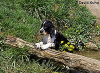 0730-0806  Tricolor English Springer Spaniel Puppy, Canis lupus familiaris © David Kuhn/Dwight Kuhn Photography.