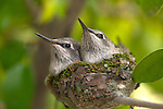 USA; California; Lakeside;  Baby Humming Birds