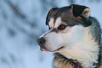 Sled dog in Wiseman, Alaska