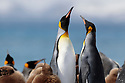 King Penguins (Mirounga leonina), male and female in courtship display. Gold Harbour, South Georgia. November.