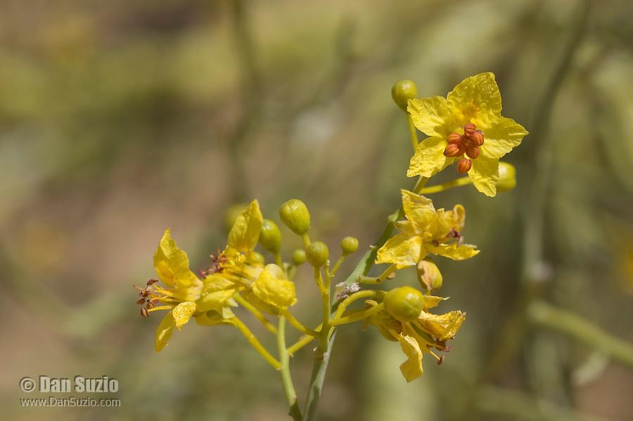 Flowers of blue palo verde, Cercidium floridum, Algodones Dunes, Imperial County, California
