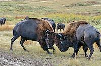 American Bison bulls sparring.  Western U.S., Late summer.
