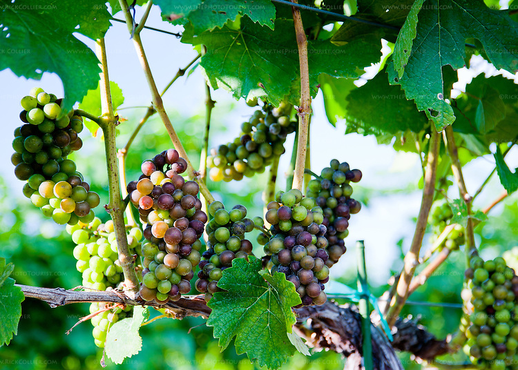 The start of veraison is visible in the bunches of grapes on the vines surrounding the event and tasting facility at Prince Michel Vineyard and Winery.   (Veraison is the process by which the grapes of red wines turn from green to to purple and then darken to nearly black.)