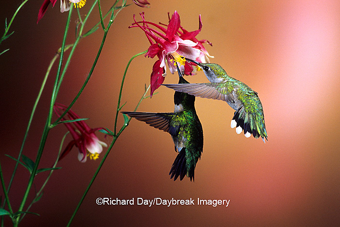 01162-070.14 Ruby-throated Hummingbirds (Archilochus colubris) male & female on Crimson Star Columbine (Aquilegia x hybrida) IL