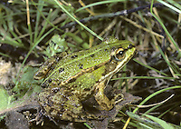 Edible Frog Rana x esculenta Length 7-9cm Not a genuine species, as was once supposed, but a viable hybrid between Pool and Marsh Frogs. Long-legged, and can be bright green or yellowish brown with dark spots and a pale greenish vertebral stripe.