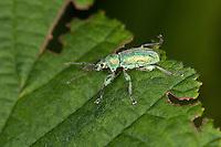 Gebirgs-Blattrüssler, Gebirgs-Blattrüßler, Grünrüssler, Grünrüßler, Blattrüssler, Blattrüßler, Blattnager, Phyllobius arborator, leaf weevil