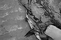 A dead thresher shark is being finned by a fisherman on the beach of Puerto Lopez, Ecuador, 6 April 2012. Every morning, hundreds of shark bodies and thousands of shark fins are sold on the Pacific coast of Ecuador. Although the targeted shark fishing remains illegal, the presidential decree allows free trade of shark fins from accidental by-catch. However, most of the shark species fished in Ecuadorean waters are considered as ?vulnerable to extinction? by the World Conservation Union (IUCN). Although fishing sharks barely sustain the livelihoods of many poor fishermen on Ecuadorean at the end of the shark fins business chain in Hong Kong they are sold as the most expensive seafood item in the world. The shark fins are primarily exported to China where the shark's fin soup is believed to boost sexual potency and increase vitality. Rapid economic growth across Asia in recent years has dramatically increased demand for the shark fins and has put many shark species populations on the road to extinction.