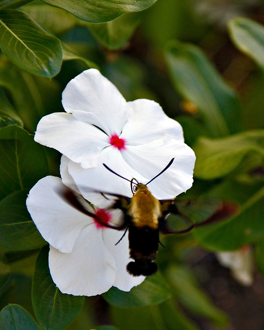 The Snowberry Clearwing is similar to the Hummingbird Clearwing Moth(Hemaris thysbe).