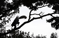 More commonly knows as the black-and-white colobus, these large hairy monkeys were quite active in Arusha National Park. More commonly known as the black-and-white colobus, these large hairy monkeys were quite active in Arusha National Park.