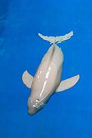 finless porpoise, Neophocaena phocaenoides (c), Indo-Pacific Ocean