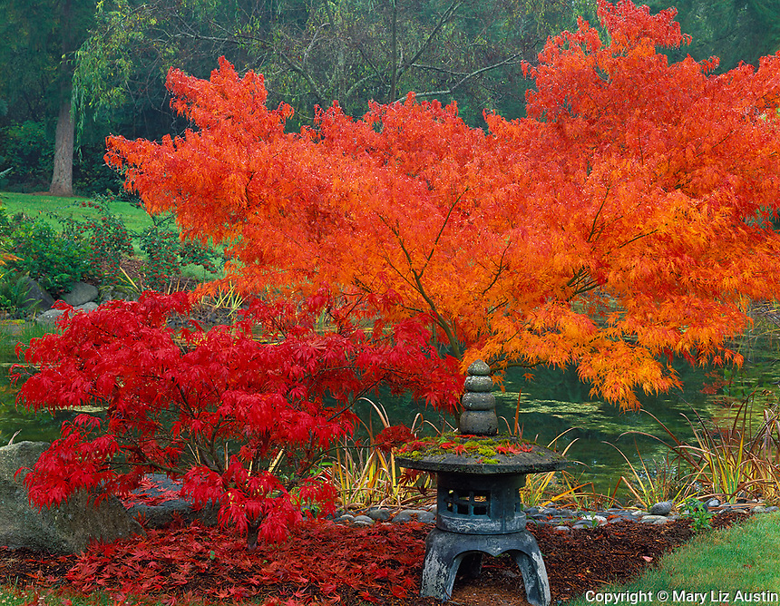 Vashon Island, WA<br /> Jasanese lantern and vibrant fall foliage of Japanese maples (Acer palmatum 'Oregon sunset and 'Seiru') at a pond's edge