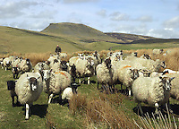 David Preston moving Mule ewes with their lambs, sired by mainly Suffolk and Texel tups, to fresh pasture on Sannat Hall Farm, Stainforth, near Settle, North Yorkshire. The lambs will be mainly sold finished through Hawes Auction Mart from July onwards but he is selling an increasing amount of lamb meat in boxes to customers along with beef from the pure-bred Aberdeen Angus herd.