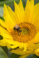 Bee collecting pollen form a sun flower - Lincolnshire, September