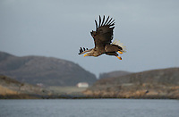 White-tailed eagle, Haliaeetus albicilla, in flight, Norway coast, Nr Trondheim.