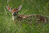 "This one week old ""fearful"" fawn is laying motionless in the grass, a survival mechanism."