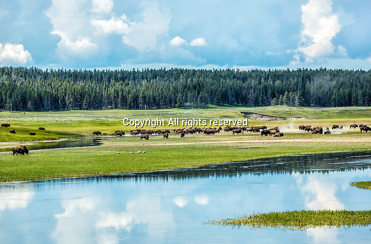 Yellowstone, landscape, bison, animals, buffalo, clouds, cloudy, weather