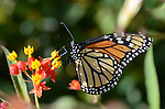 Goleta, CA. Monarch Butterflies.  Edit for photo magnets.  Frank Balthis